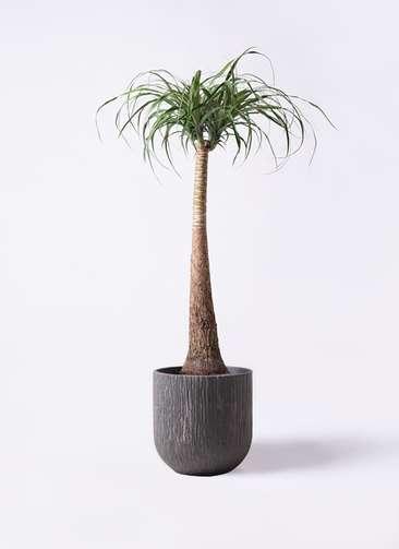 観葉植物 トックリラン ポニーテール 8号 カルディナダークグレイ 付き