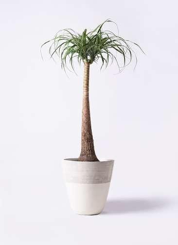 観葉植物 トックリラン 8号 ジュピター 白 付き