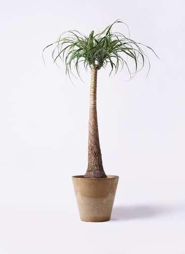観葉植物 トックリラン ポニーテール 8号 アートストーン ラウンド ベージュ 付き