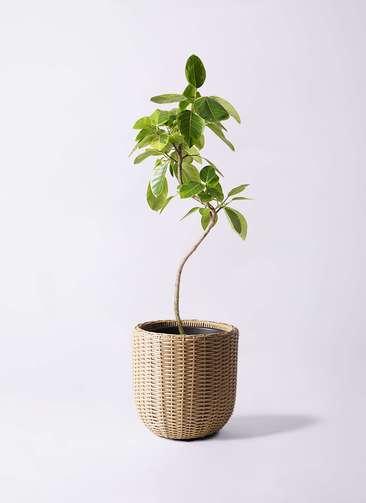 観葉植物 フィカス アルテシーマ 8号 曲り ウィッカーポットエッグ ベージュ 付き
