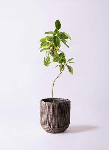 観葉植物 フィカス アルテシーマ 8号 曲り ウィッカーポットエッグ 茶 付き