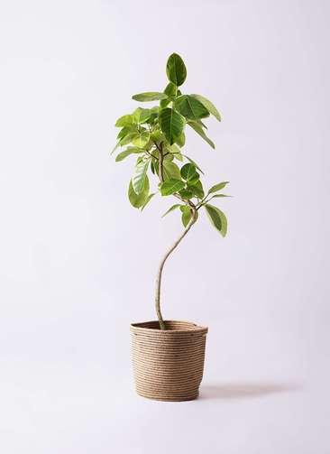 観葉植物 フィカス アルテシーマ 8号 曲り リブバスケットNatural 付き