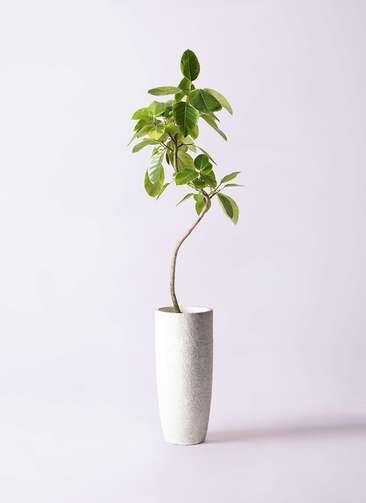 観葉植物 フィカス アルテシーマ 8号 曲り エコストーントールタイプ white 付き