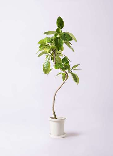 観葉植物 フィカス アルテシーマ 8号 曲り プラスチック鉢