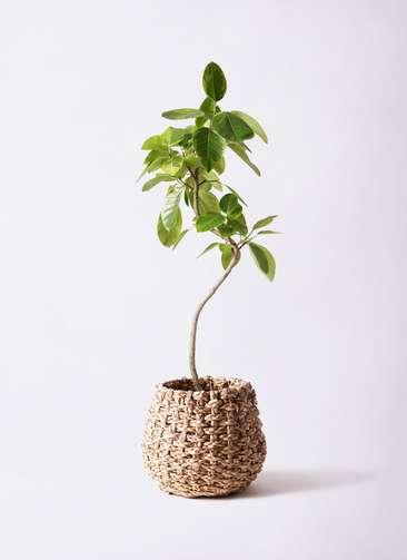 観葉植物 フィカス アルテシーマ 8号 曲り ラッシュバスケット Natural 付き