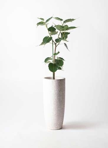 観葉植物 インドボダイジュ 8号 エコストーントールタイプ white 付き