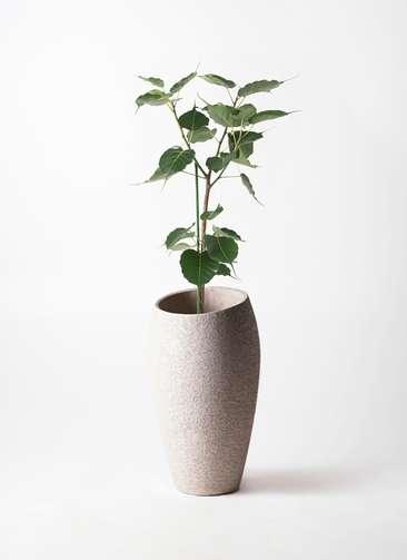 観葉植物 インドボダイジュ 8号 エコストーントールタイプ Light Gray 付き