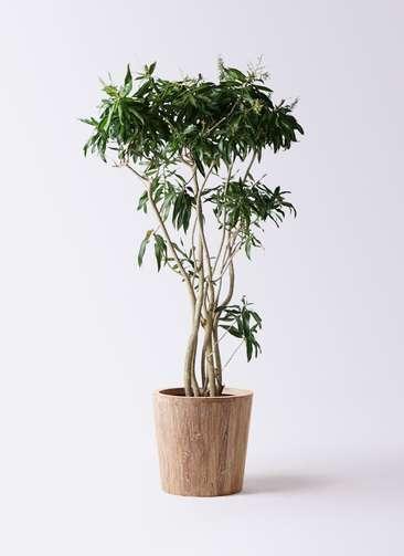 観葉植物 ドラセナ ソング オブ ジャマイカ 10号 ウッドプランター 付き