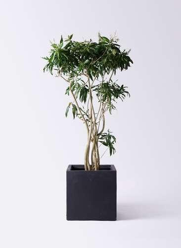 観葉植物 ドラセナ ソング オブ ジャマイカ 10号 ベータ キューブプランター 黒 付き