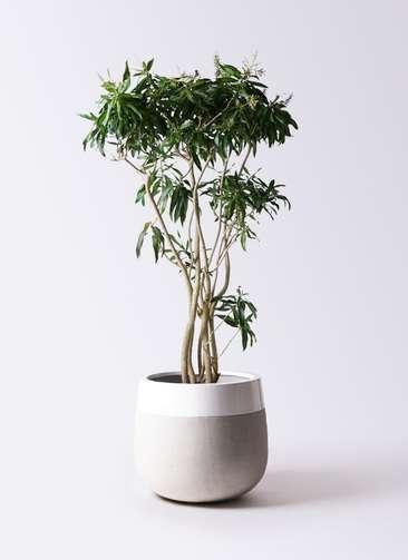 観葉植物 ドラセナ ソング オブ ジャマイカ 10号 ファイバーストーンタウルス ミドル 白 付き