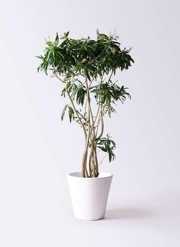 観葉植物 ドラセナ ソング オブ ジャマイカ 10号 フォリオソリッド 白 付き