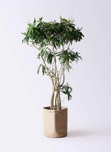 観葉植物 ドラセナ ソング オブ ジャマイカ 10号 リブバスケットNatural 付き
