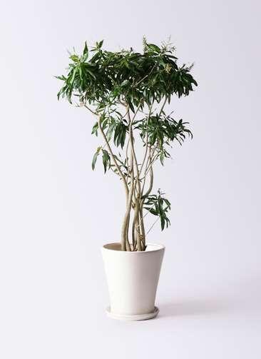 観葉植物 ドラセナ ソング オブ ジャマイカ 10号 サブリナ 白 付き