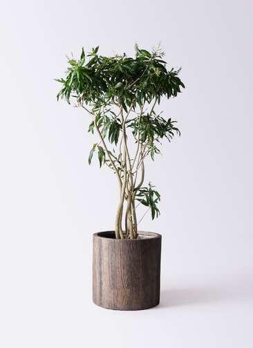 観葉植物 ドラセナ ソング オブ ジャマイカ 10号 アルファシリンダープランター 付き