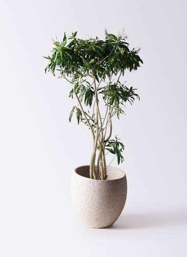 観葉植物 ドラセナ ソング オブ ジャマイカ 10号 エコストーンLight Gray 付き