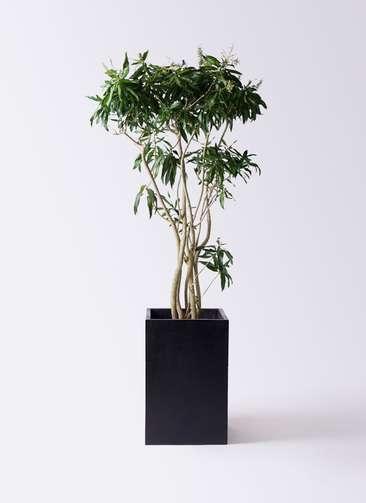 観葉植物 ドラセナ ソング オブ ジャマイカ 10号 セドナロング 墨 付き
