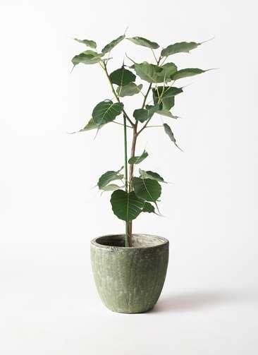 観葉植物 インドボダイジュ 8号 アビスソニアミドル 緑 付き