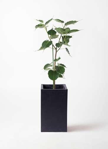 観葉植物 インドボダイジュ 8号 セドナロング 墨 付き