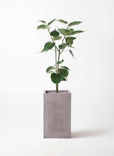 観葉植物 インドボダイジュ 8号 セドナロング グレイ 付き