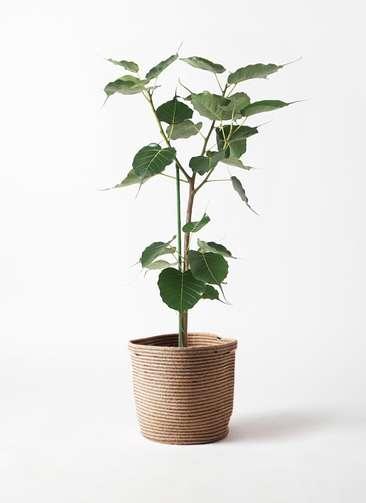 観葉植物 インドボダイジュ 8号 リブバスケットNatural 付き
