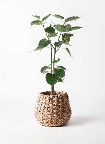 観葉植物 インドボダイジュ 8号 ラッシュバスケット Natural 付き