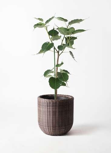 観葉植物 インドボダイジュ 8号 ウィッカーポットエッグ 茶 付き