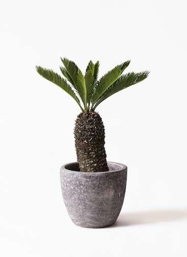 観葉植物 ソテツ 8号 アビスソニアミドル 灰 付き