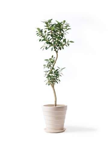観葉植物 フランスゴムの木 8号 曲り サバトリア 白 付き