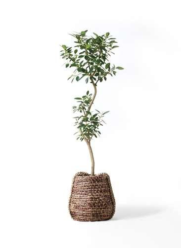 観葉植物 フランスゴムの木 8号 曲り リゲル 茶 付き
