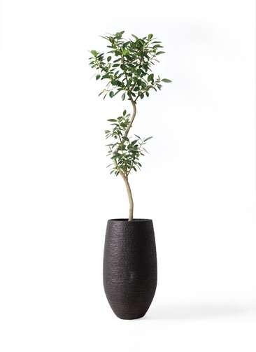 観葉植物 フランスゴムの木 8号 曲り フォンティーヌトール 黒 付き