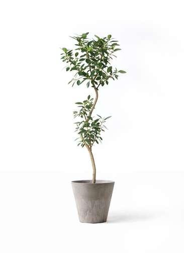 観葉植物 フランスゴムの木 8号 曲り アートストーン ラウンド グレー 付き