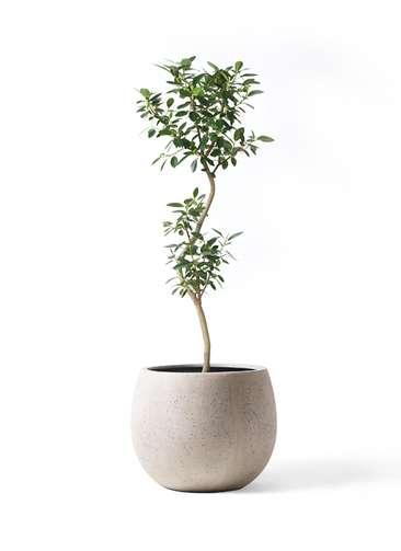 観葉植物 フランスゴムの木 8号 曲り テラニアス ローバルーン アンティークホワイト 付き