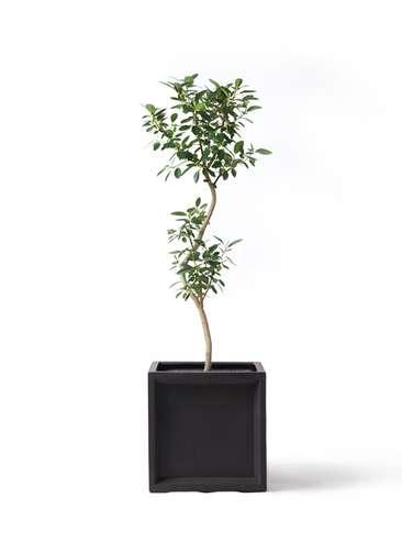 観葉植物 フランスゴムの木 8号 曲り ブリティッシュキューブ 付き