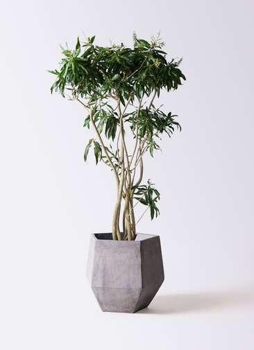 観葉植物 ドラセナ ソング オブ ジャマイカ 10号 ファイバークレイGray 付き