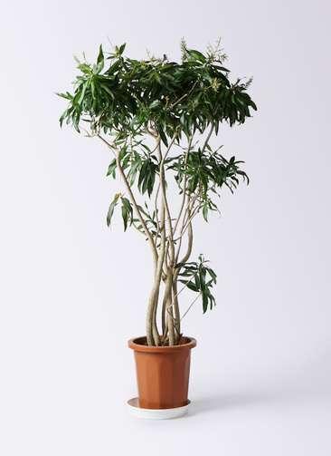 観葉植物 ドラセナ ソング オブ ジャマイカ 10号 プラスチック鉢
