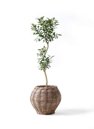 観葉植物 フランスゴムの木 8号 曲り グレイラタン 付き