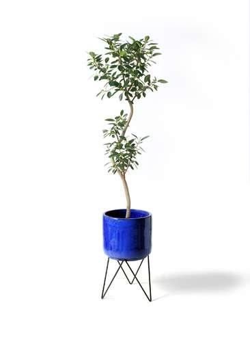 観葉植物 フランスゴムの木 8号 曲り ビトロ エンデカ 鉢カバースタンド付 ブルー 付き