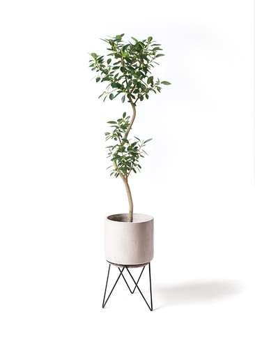 観葉植物 フランスゴムの木 8号 曲り ビトロ エンデカ 鉢カバースタンド付 クリーム 付き