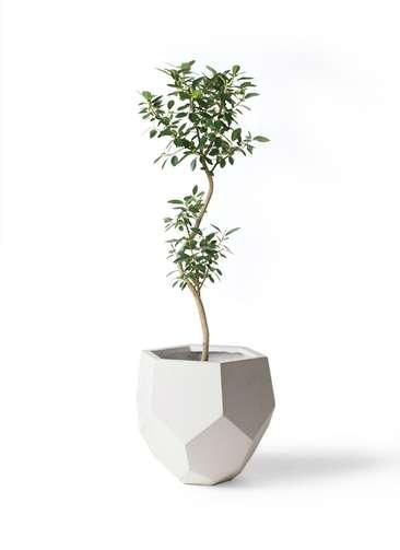観葉植物 フランスゴムの木 8号 曲り ポリゴヘクサ 白 付き