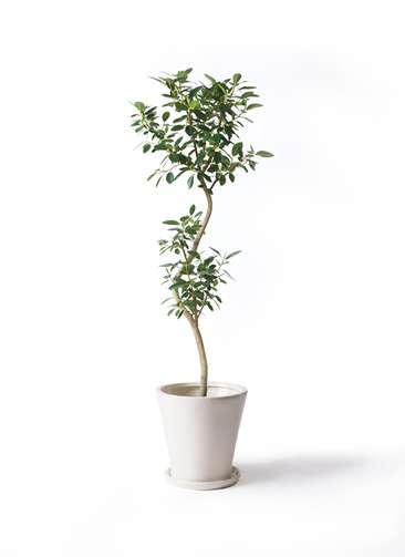 観葉植物 フランスゴムの木 8号 曲り サブリナ 白 付き