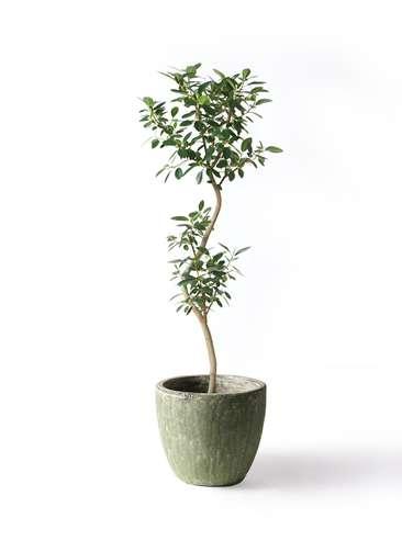 観葉植物 フランスゴムの木 8号 曲り アビスソニアミドル 緑 付き