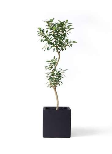 観葉植物 フランスゴムの木 8号 曲り ベータ キューブプランター 黒 付き