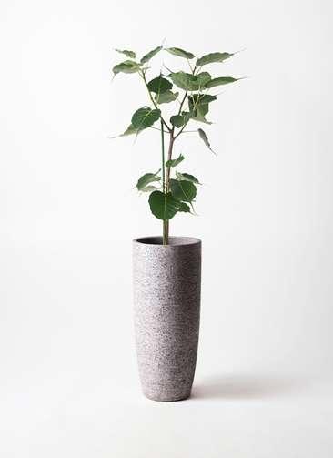 観葉植物 インドボダイジュ 8号 エコストーントールタイプ Gray 付き