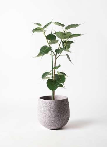 観葉植物 インドボダイジュ 8号 エコストーンGray 付き