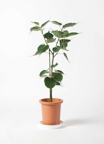 観葉植物 インドボダイジュ 8号 プラスチック鉢