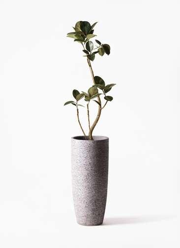観葉植物 フィカス バーガンディ 8号 曲り エコストーントールタイプ Gray 付き