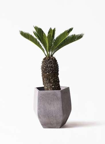 観葉植物 ソテツ 8号 ファイバークレイ Gray 付き
