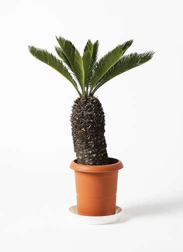 観葉植物 ソテツ 8号 プラスチック鉢