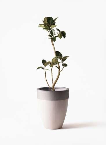 観葉植物 フィカス バーガンディ 8号 ファイバーストーンカプリ サンディホワイト 付き