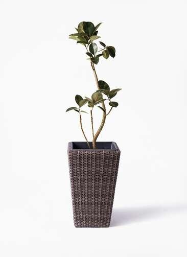 観葉植物 フィカス バーガンディ 8号 ウィッカーポット スクエアロング OT 茶 付き
